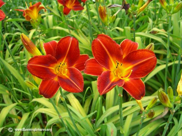 red-daylily-flowers